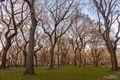Elms of Central Park print