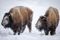 Two Bison print
