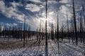 Yellowstone Trees 6 print
