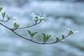 Dogwood Blossoms print