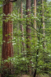 California, North America, United States, Yosemite, forest, trees, dogwoods, Ahwahnee Hotel