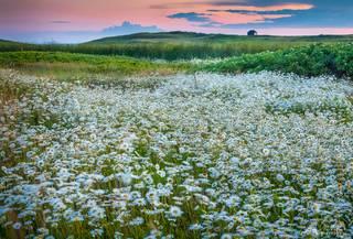 daisies, flowers, Miacomet, wind