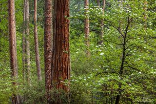 California, North America, United States, Yosemite, forest, trees, dogwoods