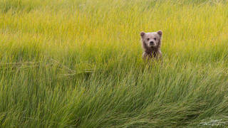 Alaska, Lake Clark National Park, brown bear (grizzly)
