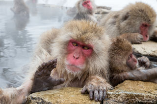 Asia, Japan, Japanese macaque, Nagano Prefecture, Snow Monkey