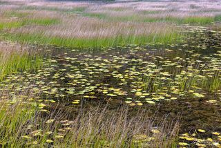 Lily Pads in the Tarn