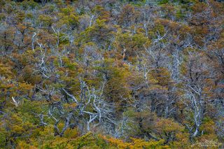 forest, Los Glaciares National Park, Patagonia, trees