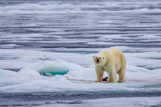 Arctic, Europe, Norway, Svalbard, ice, polar bear, pack ice