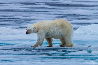 Arctic, Europe, Norway, Svalbard, ice, polar bear, hunt