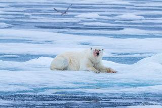 Arctic, Europe, Norway, Svalbard, ice, polar bear