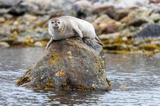 Arctic, Europe, Norway, Svalbard, harbor seal