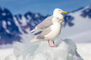 glaucous gull, Svalbard, Norway, winter