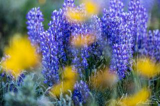 Lupines, sunset, Teton National Park, meadows