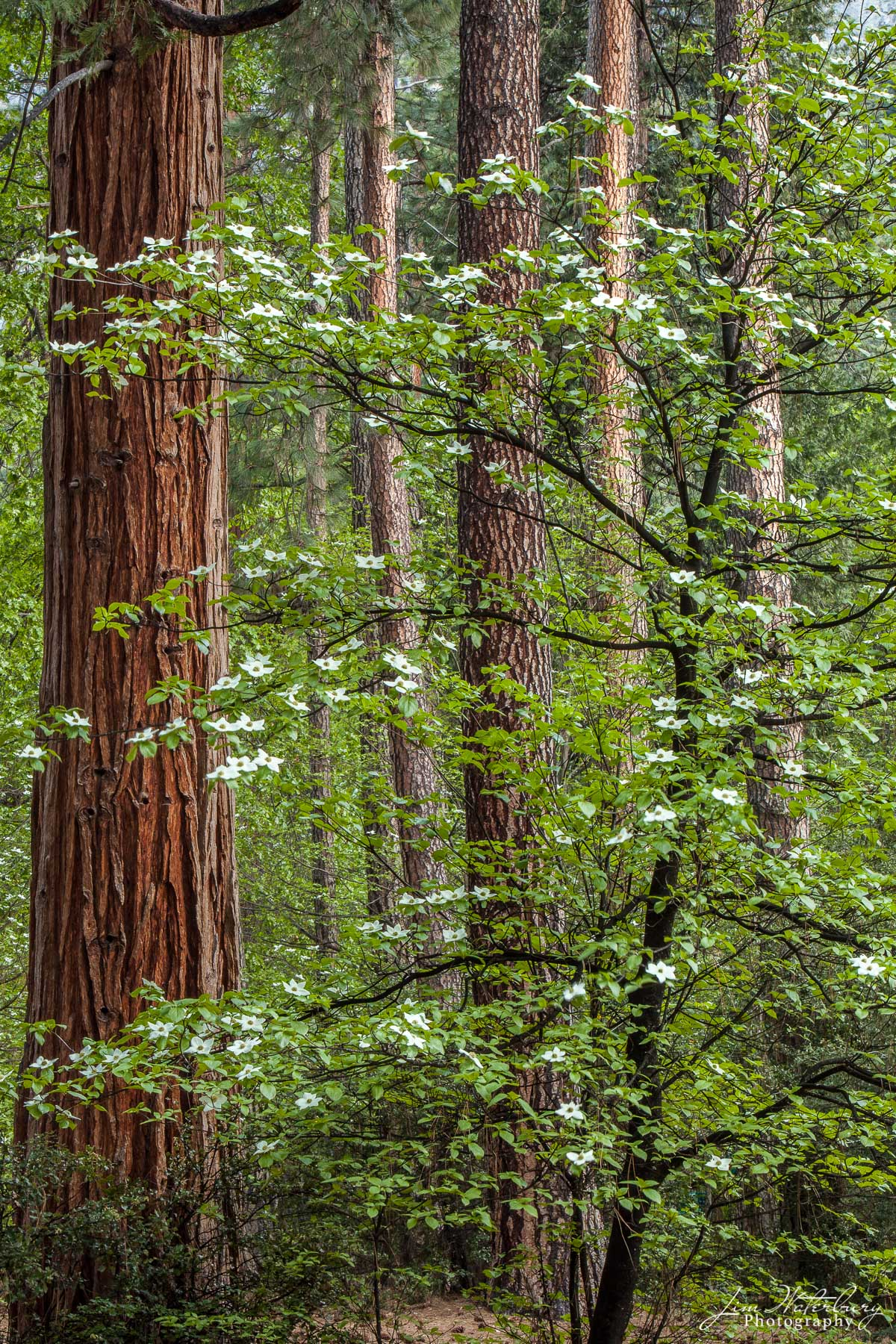 A forest of dogwood trees flower in spring on the grounds of the Ahwahnee Hotel in Yosemite Valley.