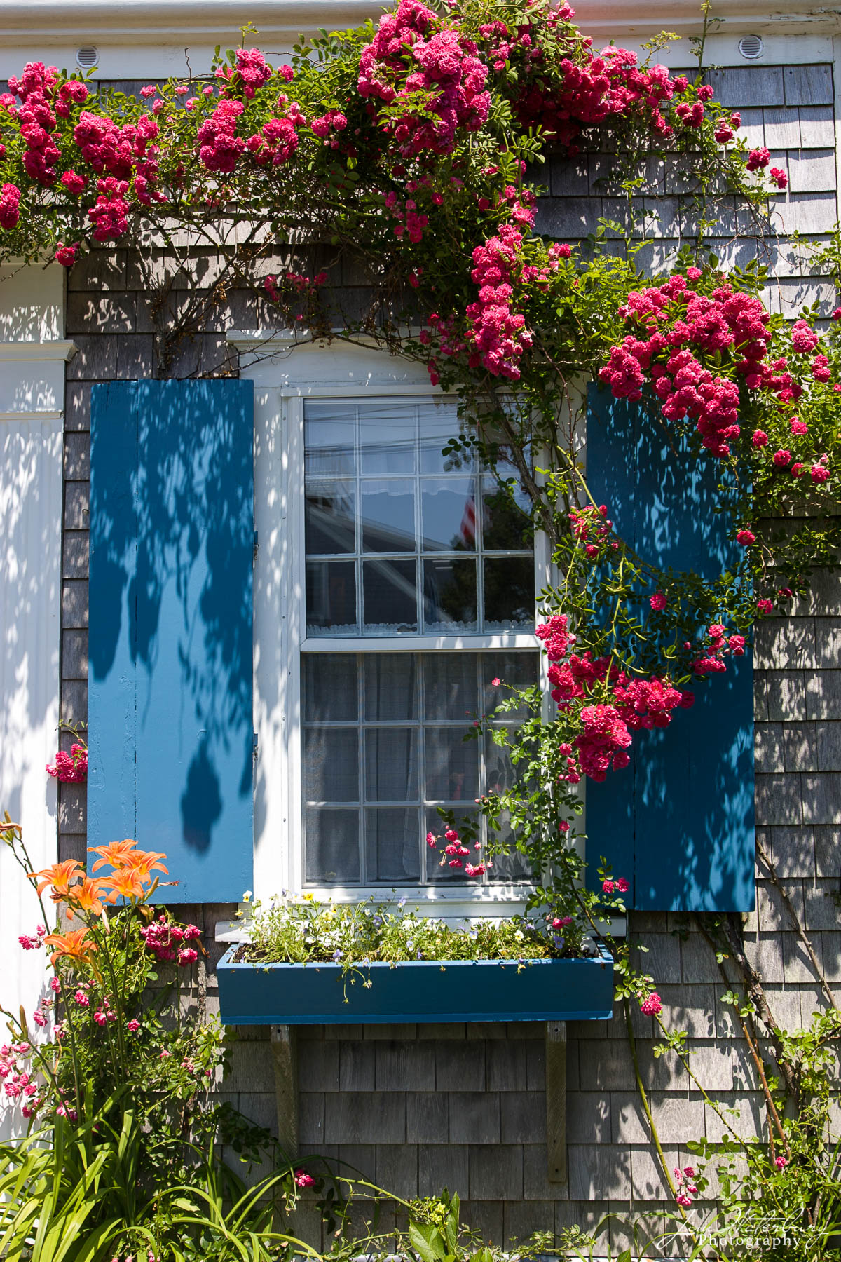 Nantucket, house, blue shutters, roses, photo