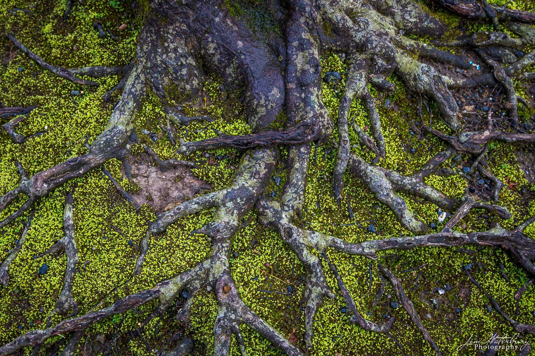 Ancient tree roots form an intricate web, in a mossy forest floor outside of Kyoto, Japan.