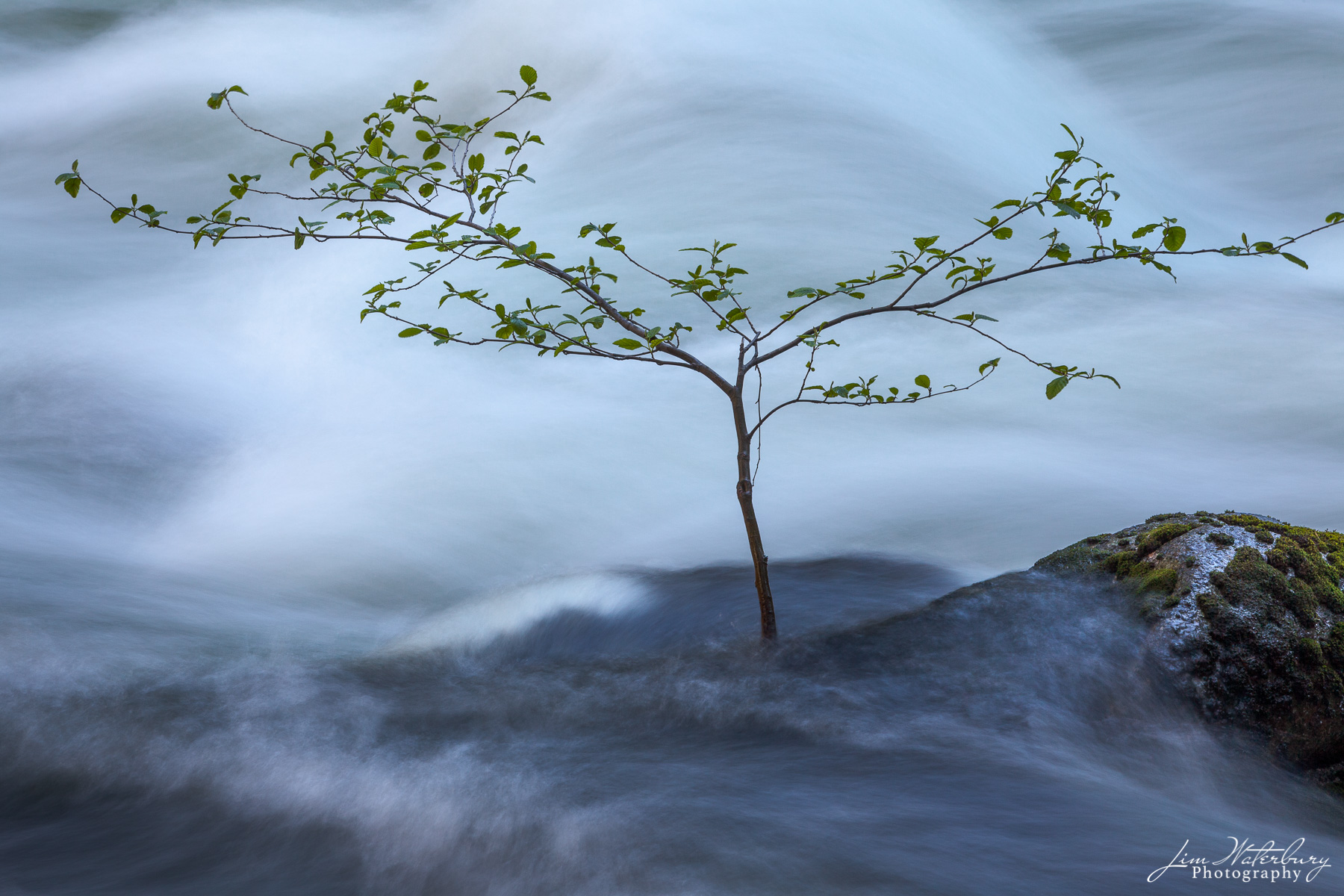 A small tree struggles to survive in the swift spring currents of the Merced River in Yosmite National Park.