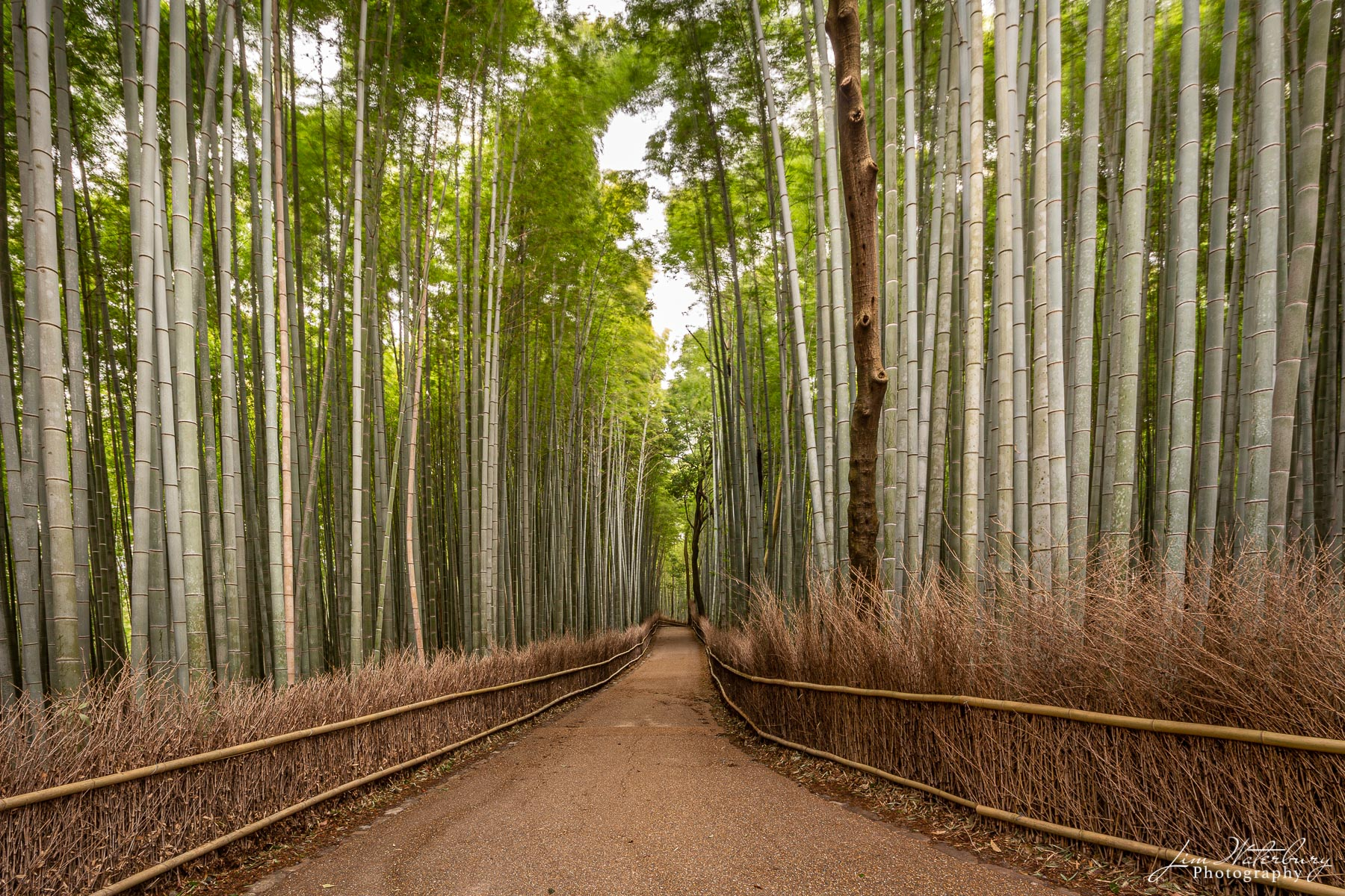 Bamboo trees sway in the wind of the early morning at the Sagano bamboo grove in Arashiyama, west of Kyoto, Japan.