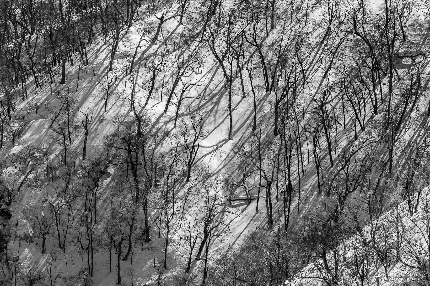 Black & white image of a forest of trees on a steep hillside in Hokkaido, Japan, casting long shadows in the afternoon sun on...