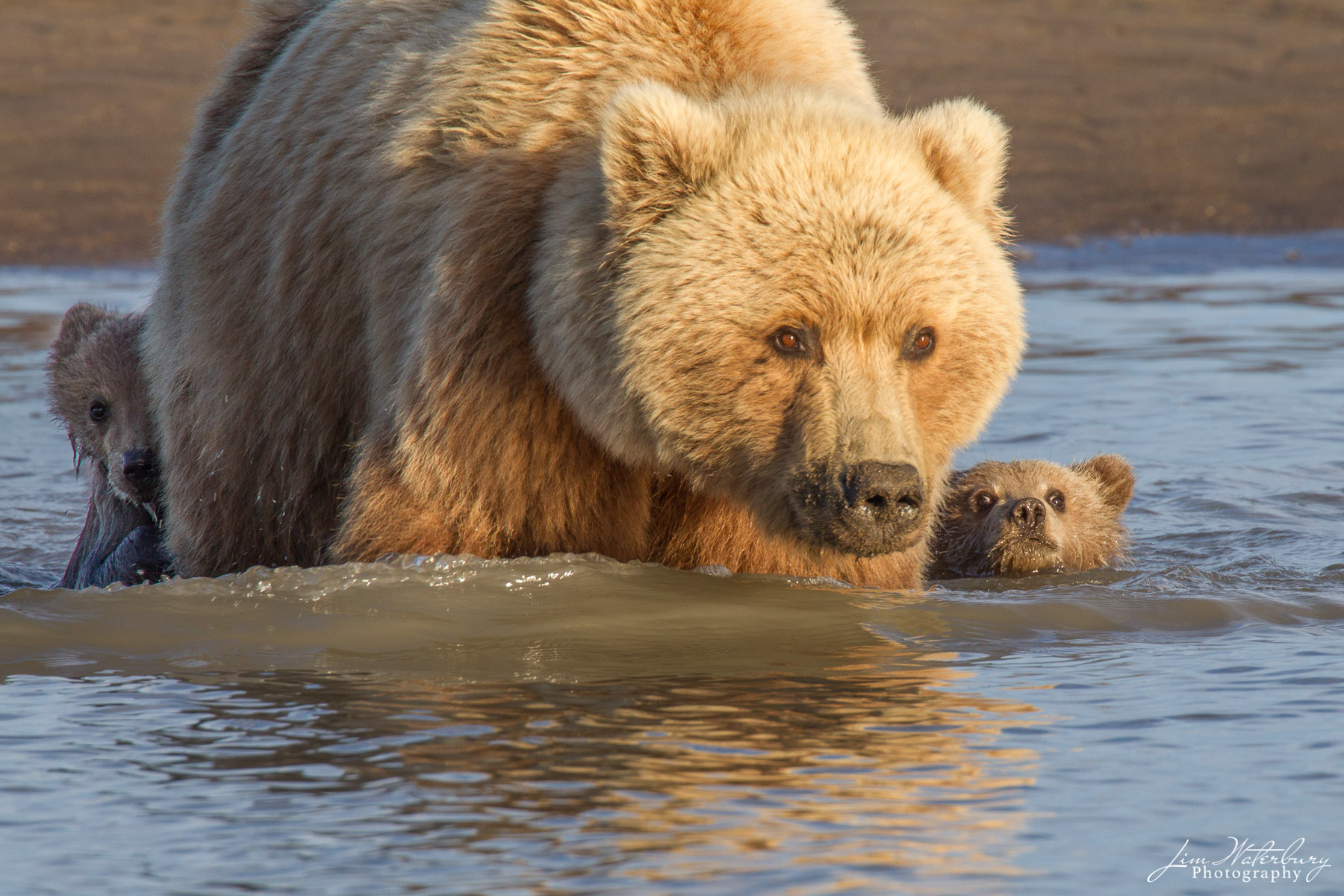 Brown bear, Lake Clark National Park, Alaska, photo