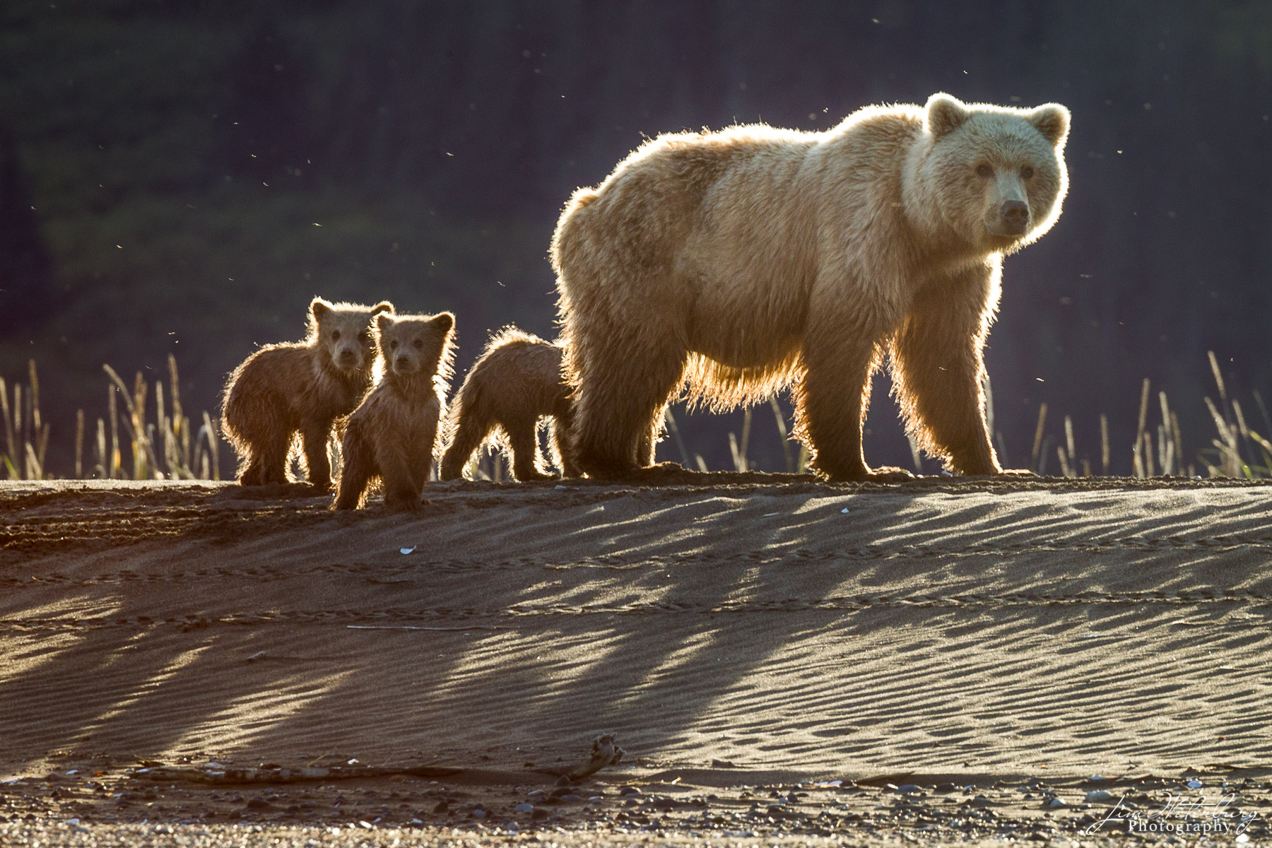 A family of brown bears, led by their mother, walk along the banks of a river in Lake Clark National Park.