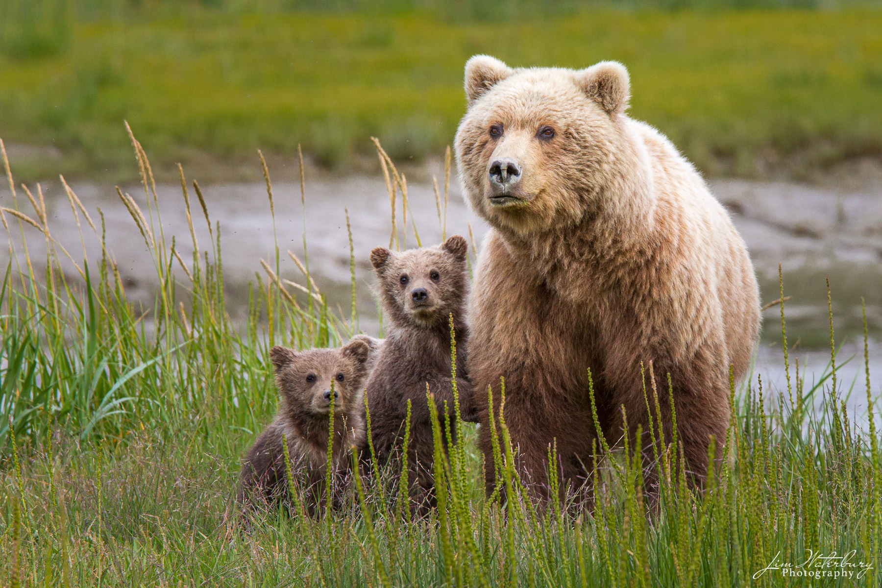 A mother and her two young brown bear cubs in the grasses of Lake Clark National Park, Alaska.
