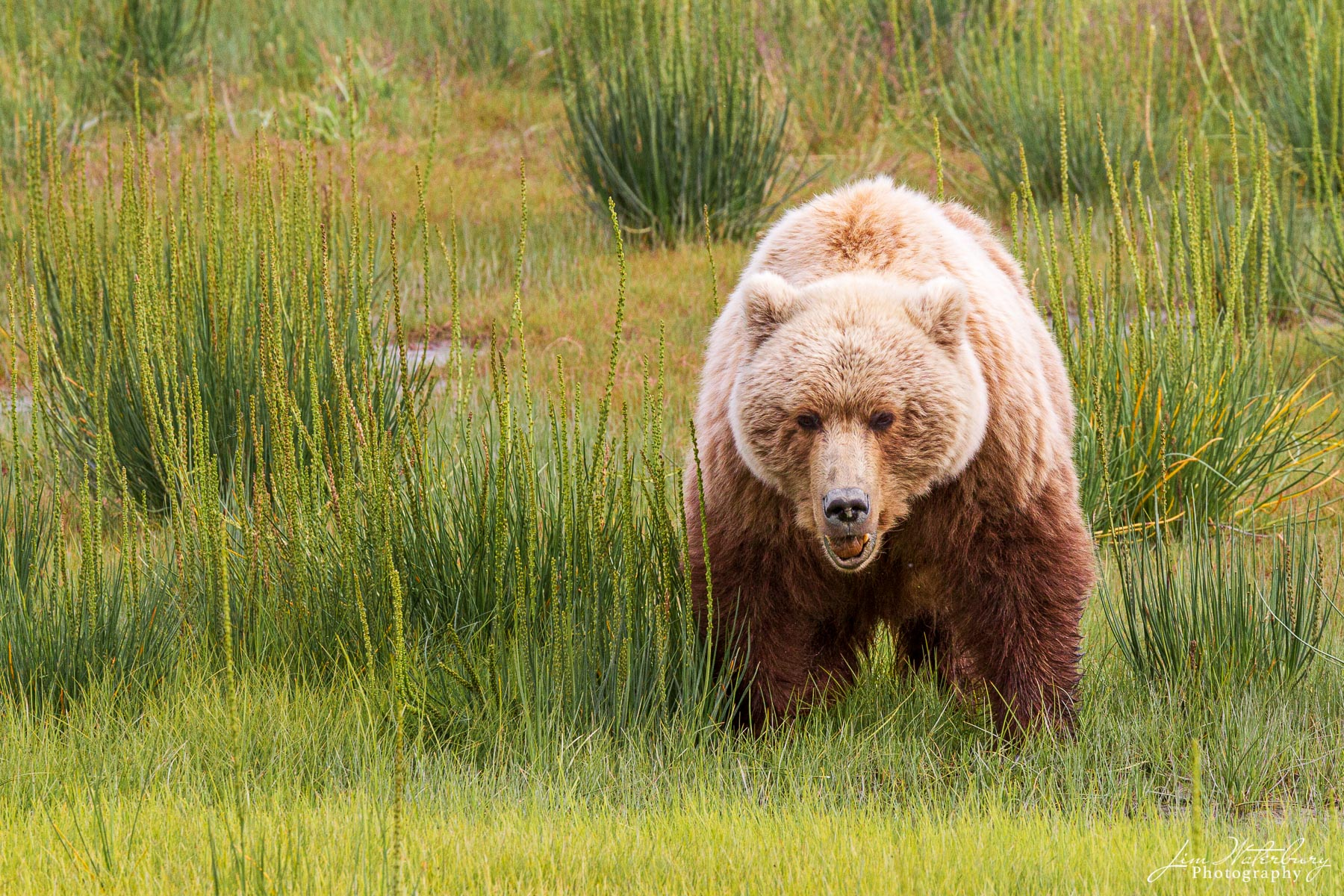 An adult brown bear wanders among the grasses of Lake Clark National Park, Alaska.