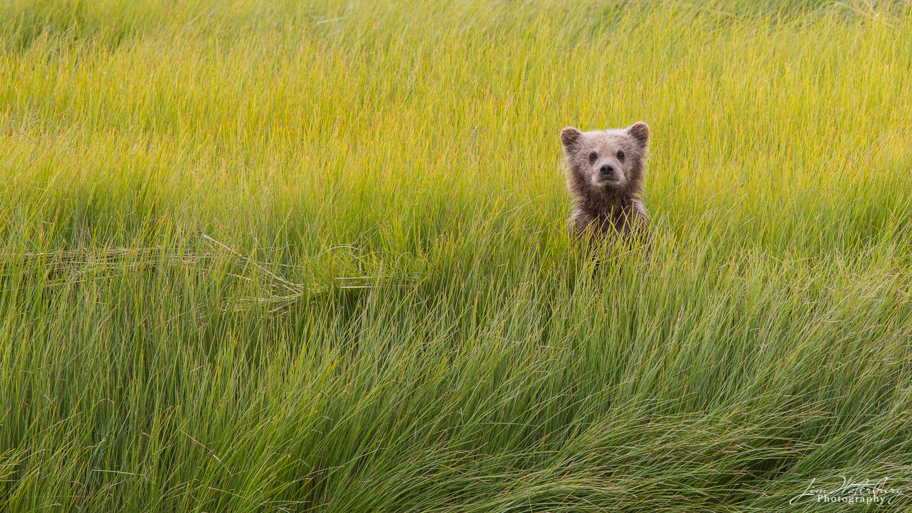 A lone young brown bear looks up through the tall grass in search of his mother who has crossed the river ahead of him.