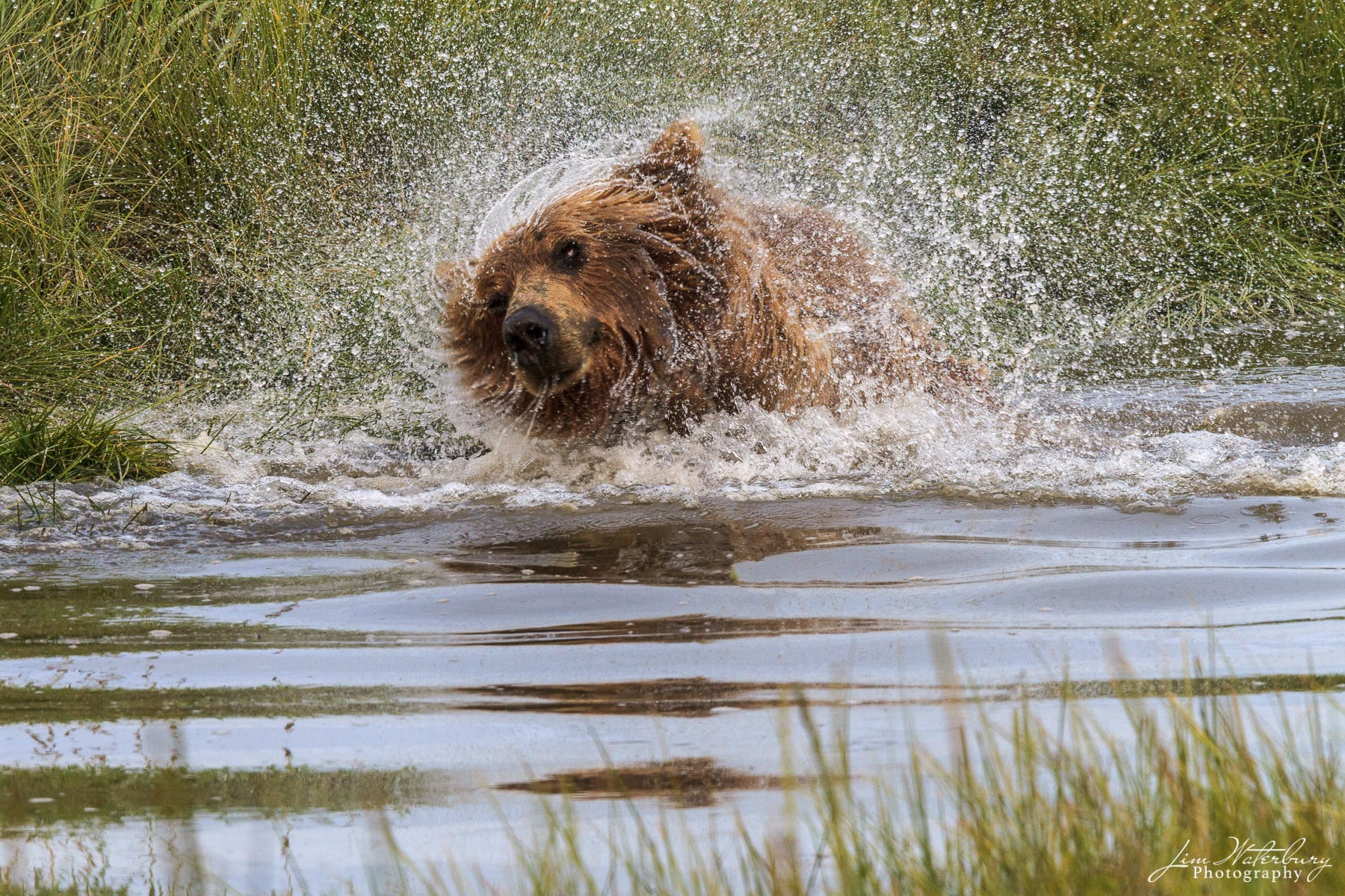 A brown bear shakes off water after crossing the river in Lake Clark National Park.