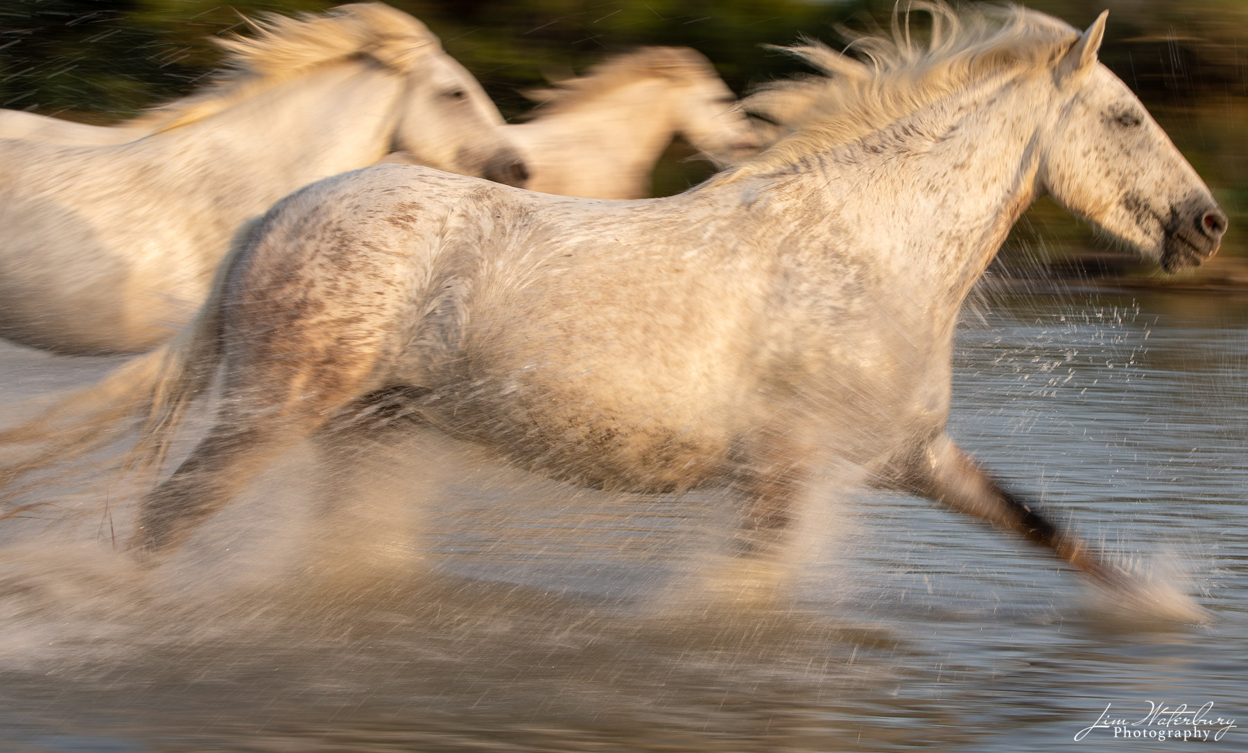 Camargue, horses, photo