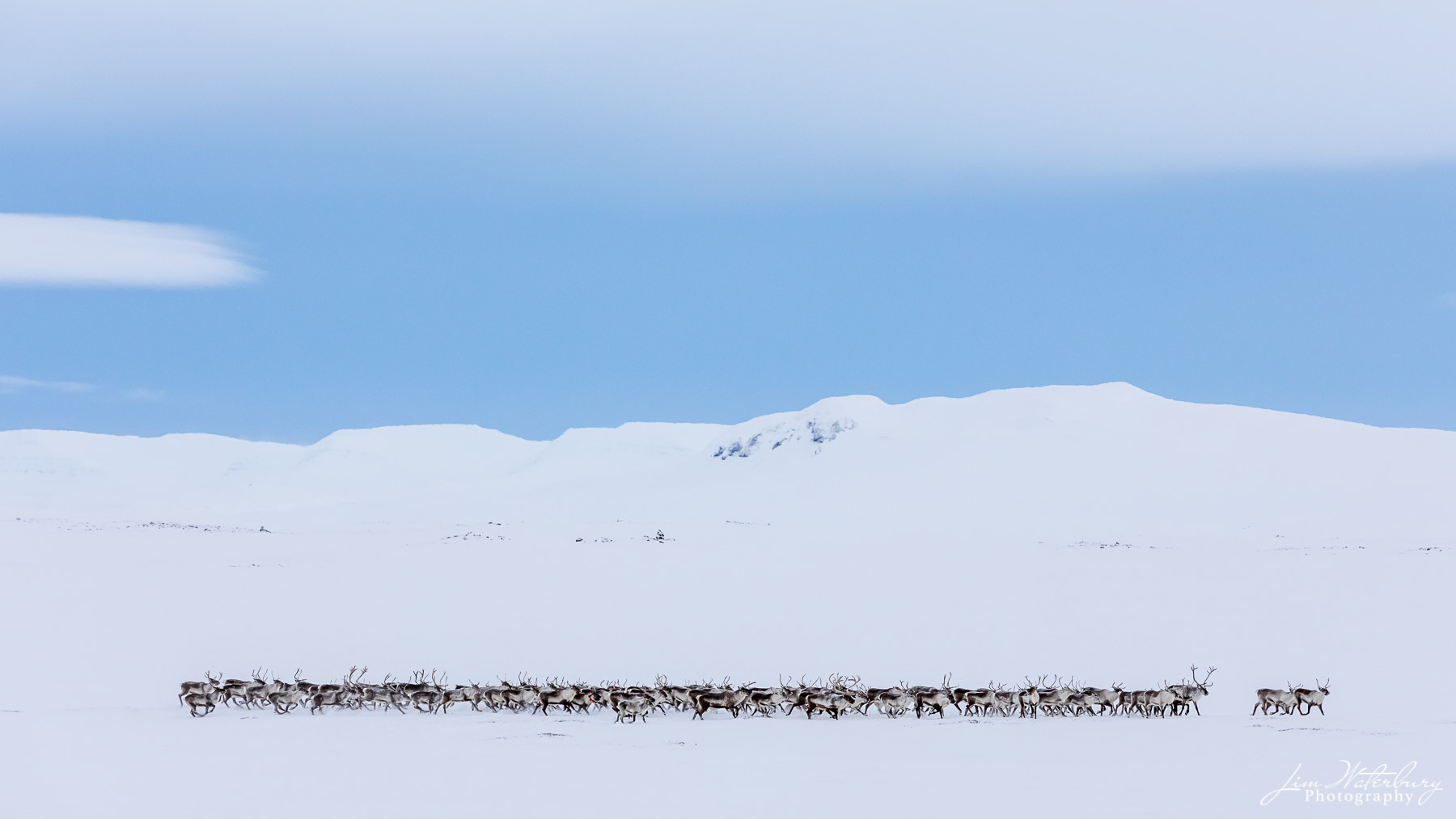 herd, reindeer, snow, landscape, Lake Myvatn, Iceland, photo
