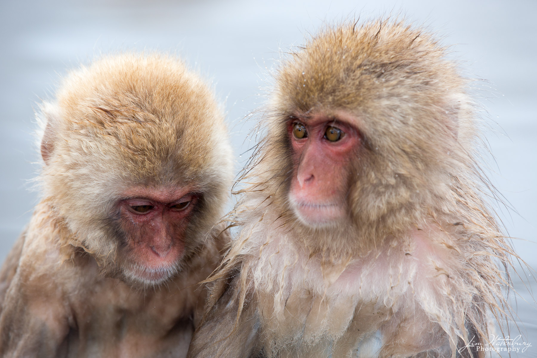 Asia, Japan, Japanese macaque, Nagano, Snow Monkey, photo
