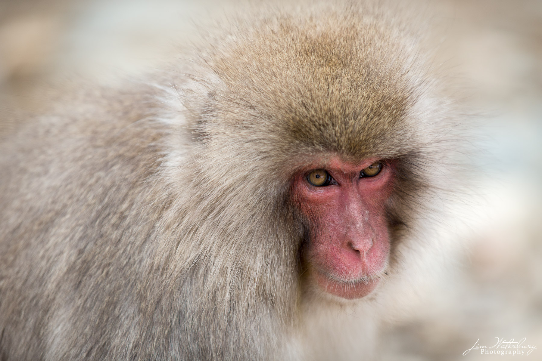 Asia, Japan, Japanese macaque, Nagano Prefecture, Snow Monkey, photo