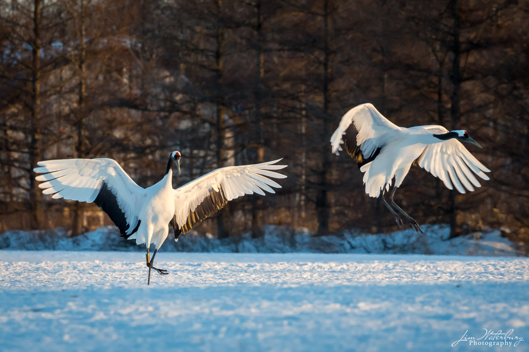 Japanese red-crowned cranes take flight in the glow of the warm afternoon sunlight, in winter,  near Tsurui, Hokkaido.