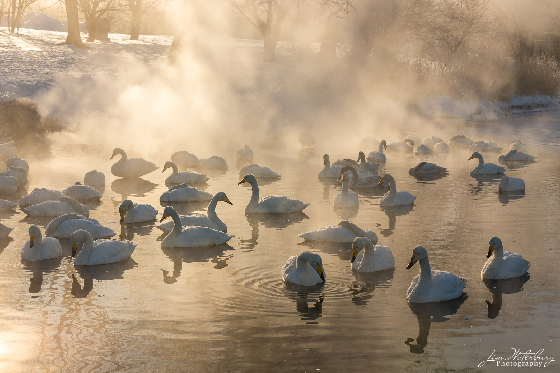 Whooper swans at Lake Kussharo, Hokkaido, Japan in early morning sunlight.  These wild swans migrate from the Siberian Arctic...