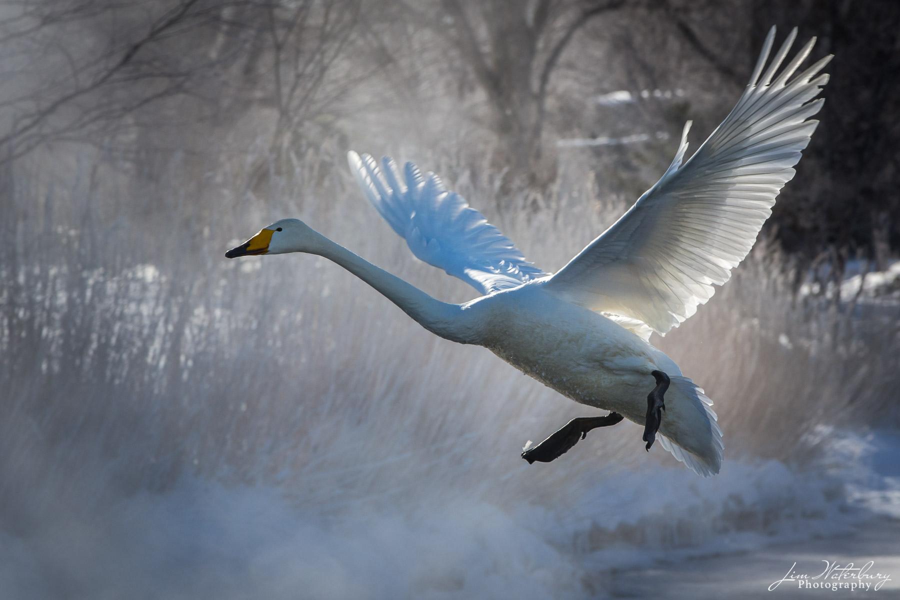 Whooper swan, with wings spread,  landing on Lake Kussharo, Hokkaido, Japan.