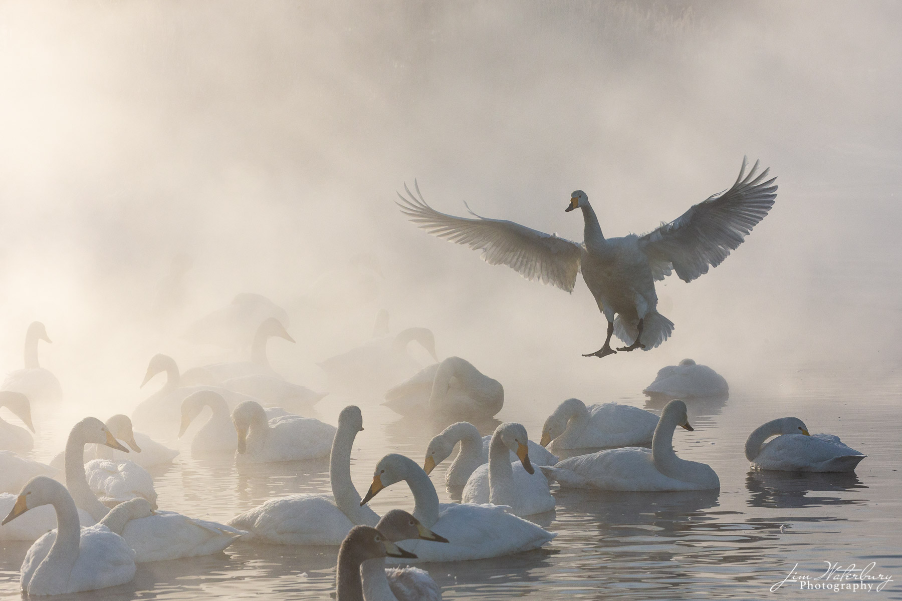 Whooper swans swim in the warm waters of Lake Kussharo in  Hokkaido, Japan, as a large swan, with wings spread, returns to the...