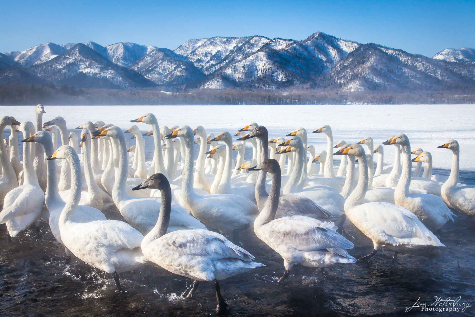 Whooper swans at Lake Kussharo, Hokkaido, Japan, flock together, drawn by locals offering them grain.