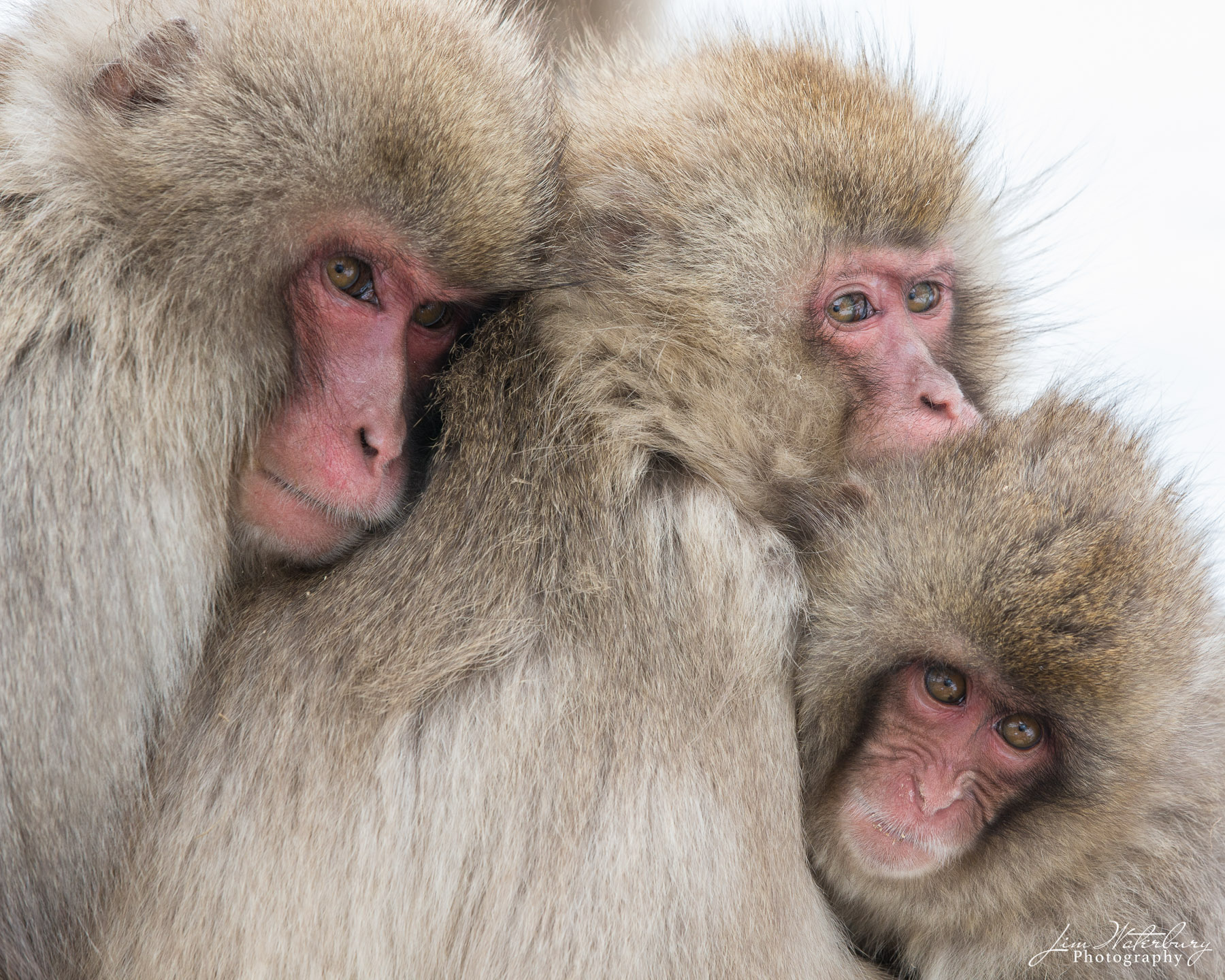 """A family of Japanese Macaques, or """"Snow Monkeys"""" in Jigokudani Park, Japan, huddle together to defend against the cold, snowy..."""