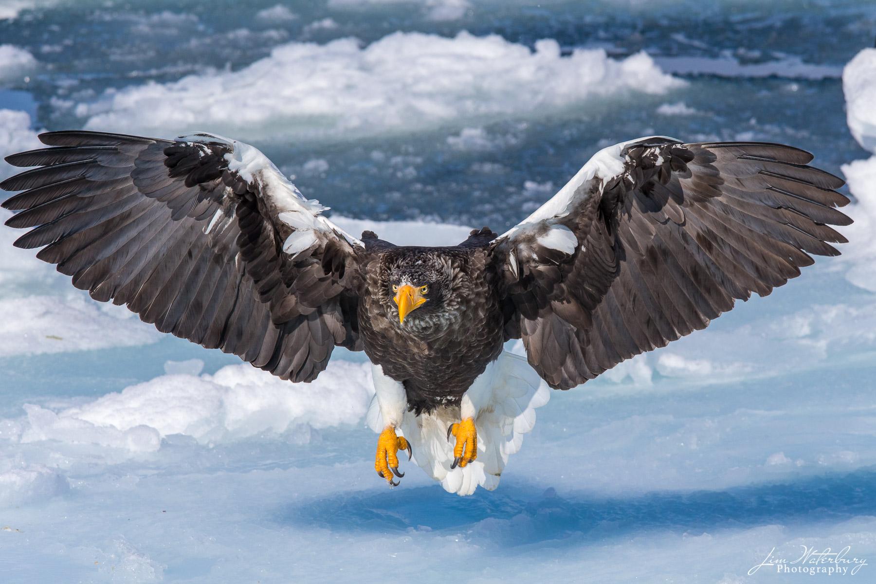 Asia, Hokkaido, Japan, Steller sea eagle, birds, photo