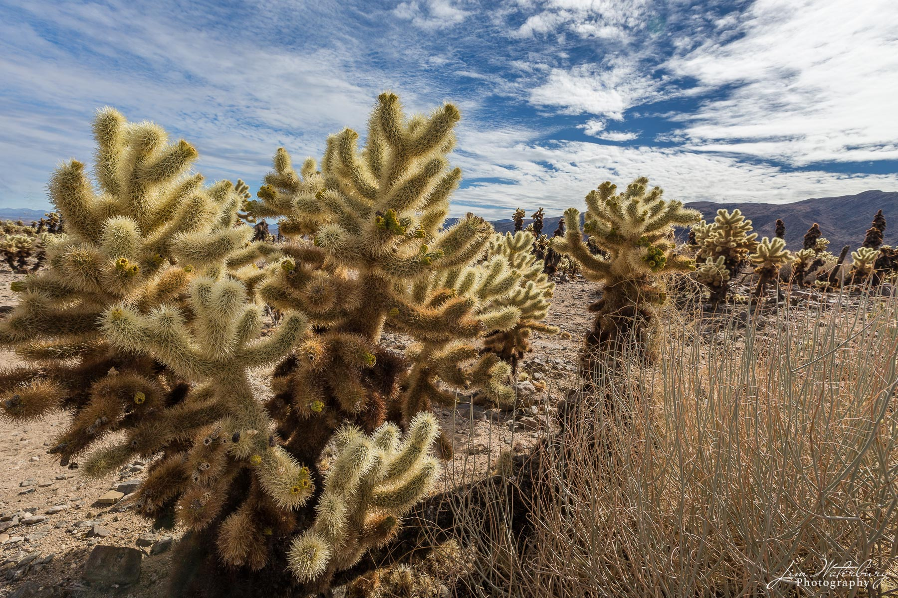Cholla cactus in the sunlight in  Joshua Tree National Park.