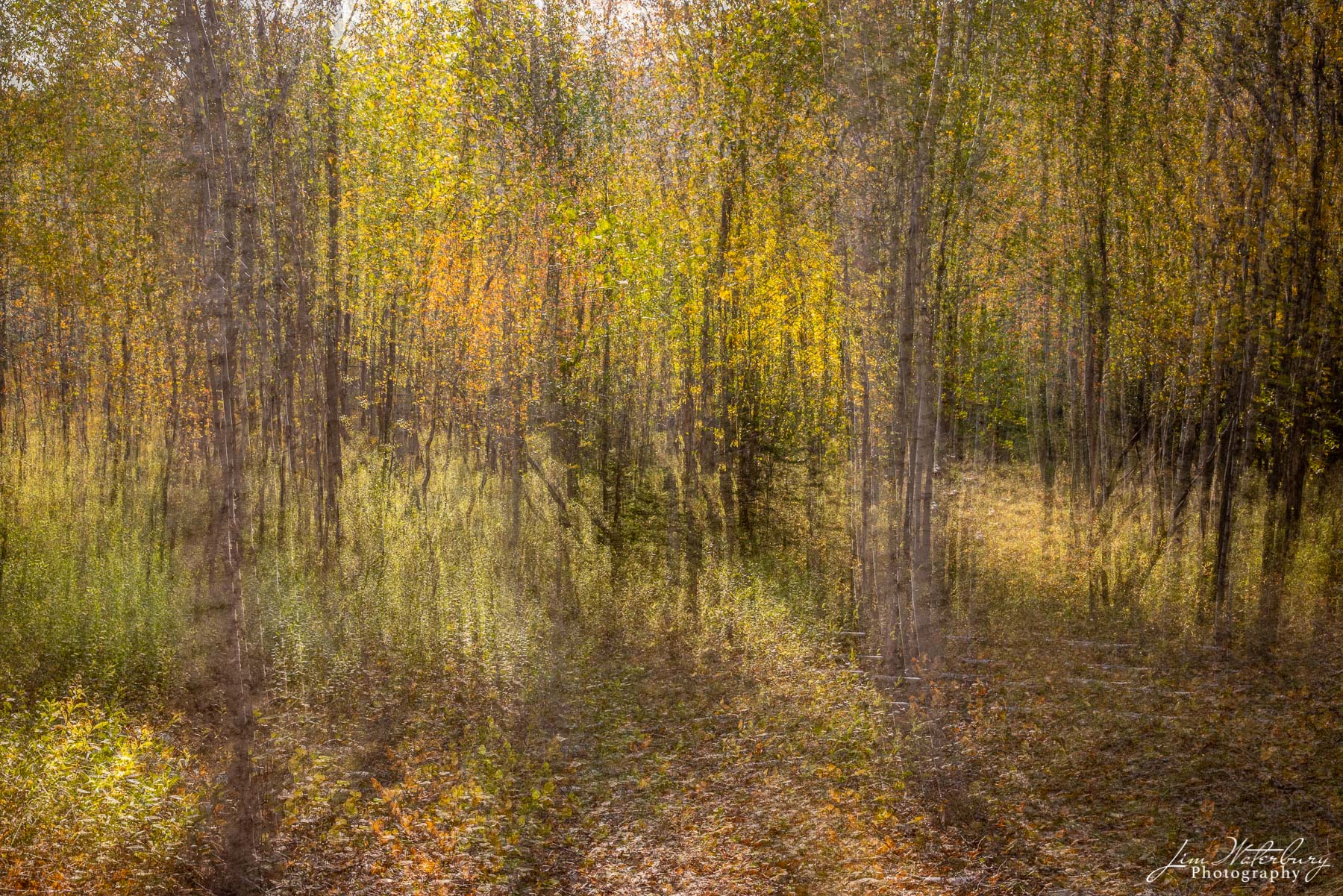 Abstract of trees in the forest, with early morning light highlighting the yellows, greens, and oranges of fall.