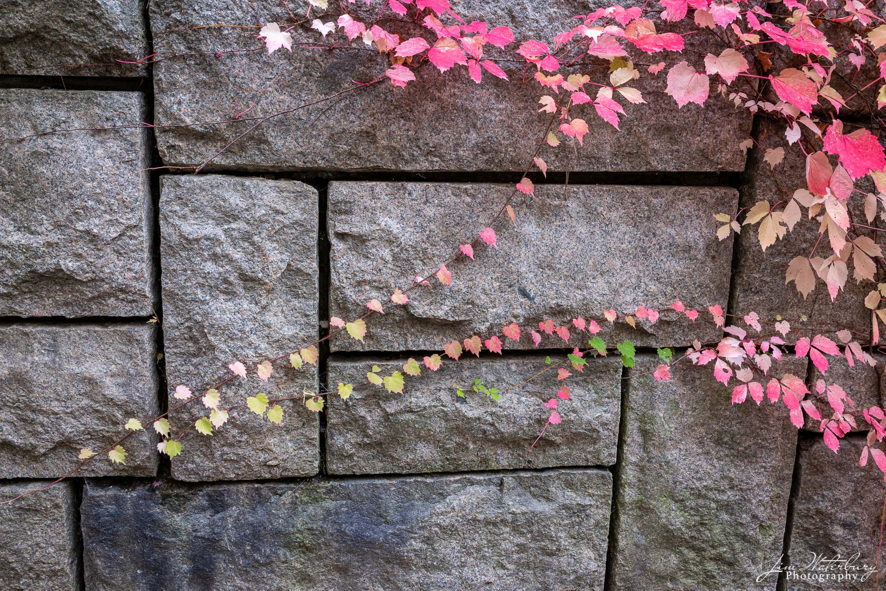 Ivy on a wall in Seal Harbor shows off the delicate fall  reds and pinks of the ivy.
