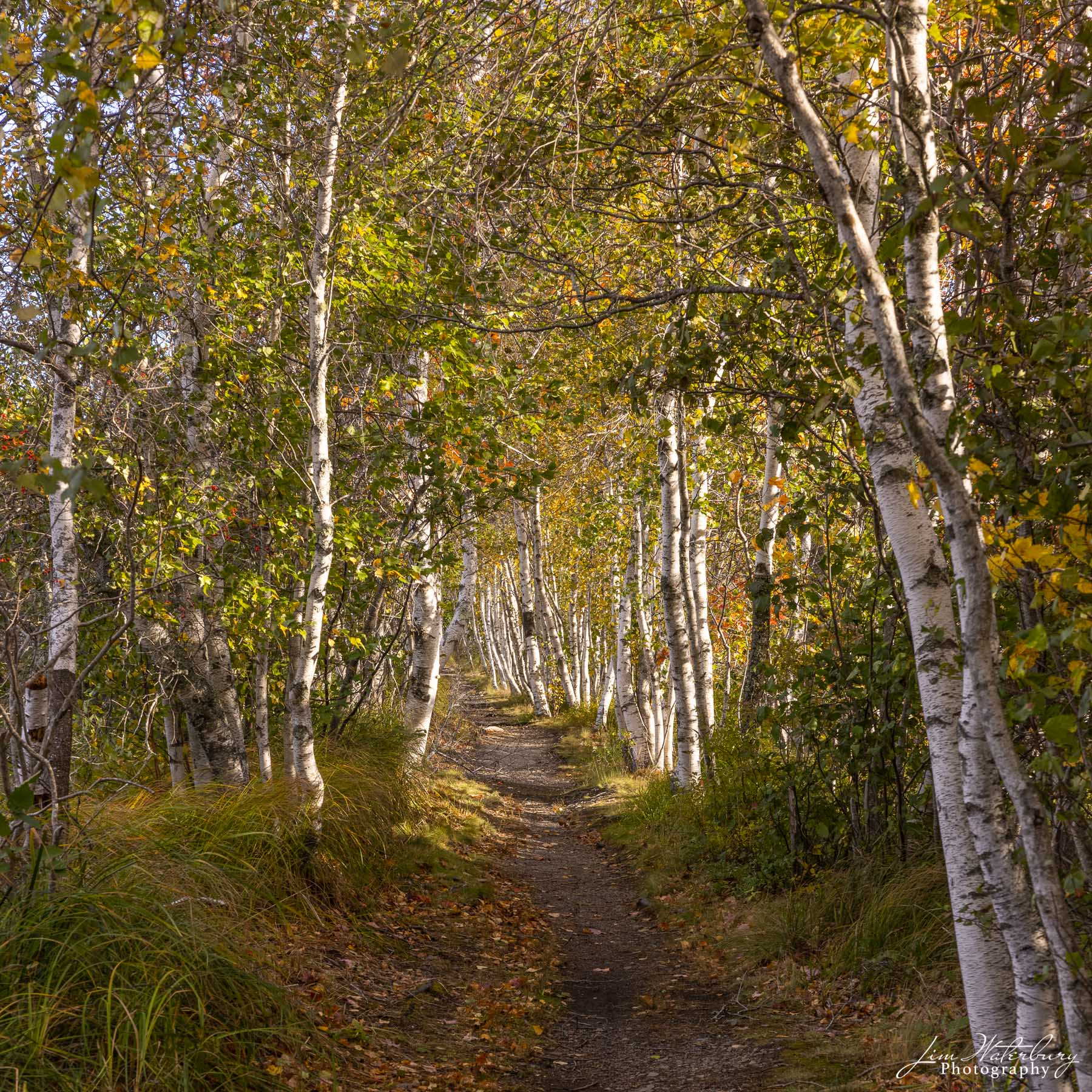 A small hiking trail leads through a forest of birch trees in fall, in Acadia National Park.