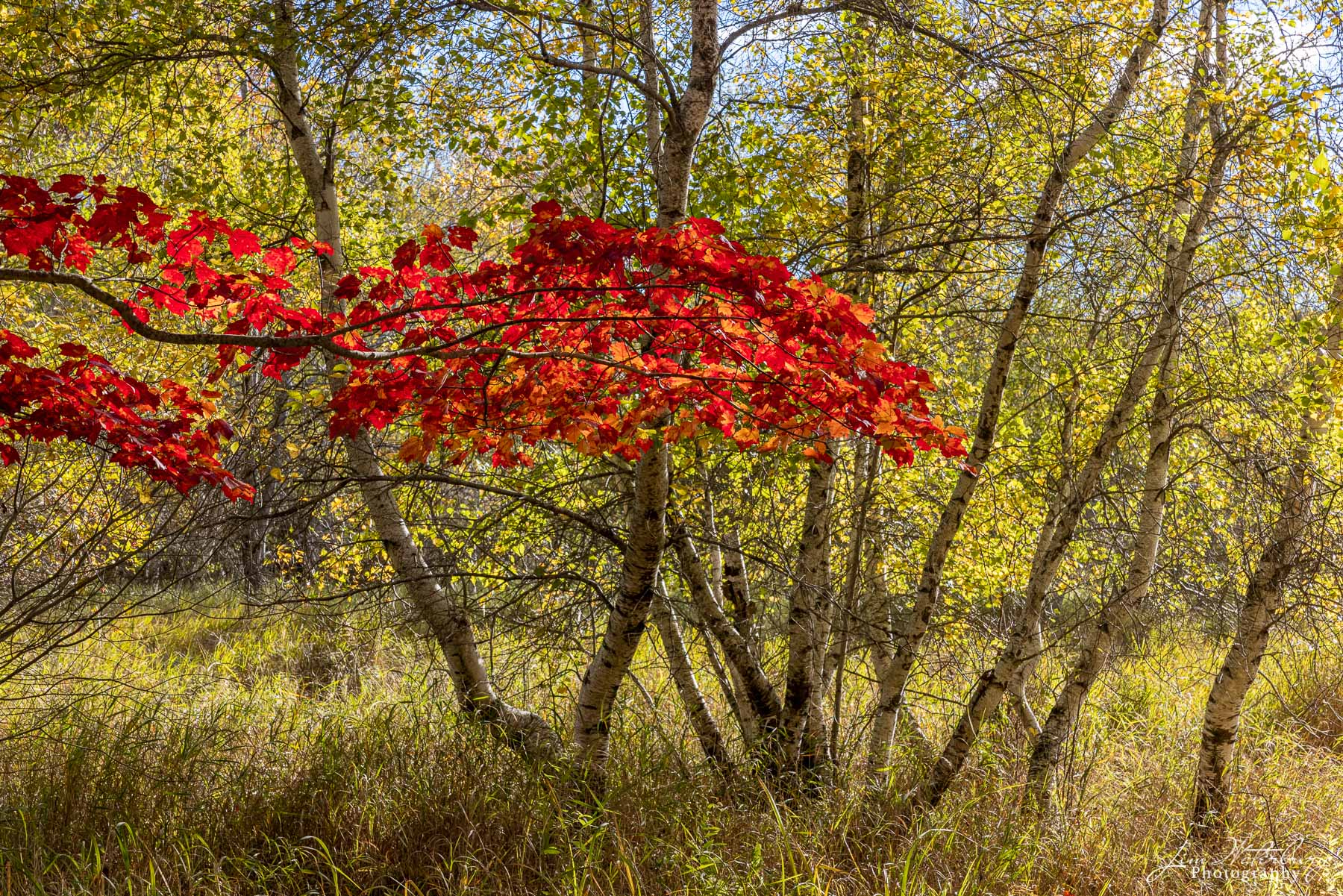 Bright red leaves, reflecting early morning light, stand out against a background of green and yellow leaves along a carriage...