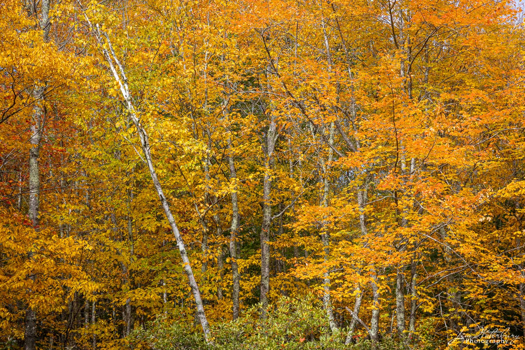 A panorama of fall foliage, interrupted by a falling birch tree.