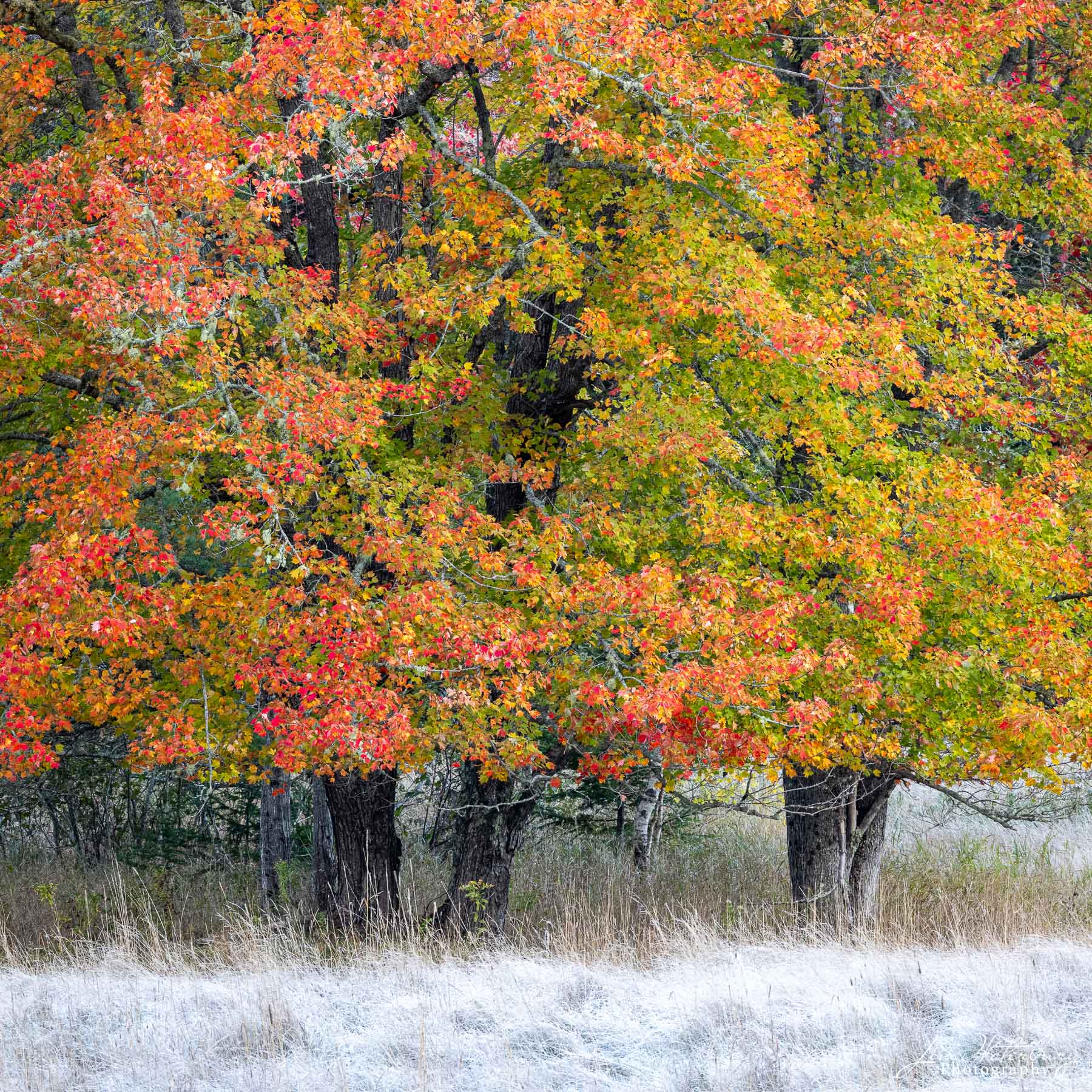 A fall medley of green, red, orange and yellow leaves contrast with the frost-covered grasses in a meadow near Little Long Pond...
