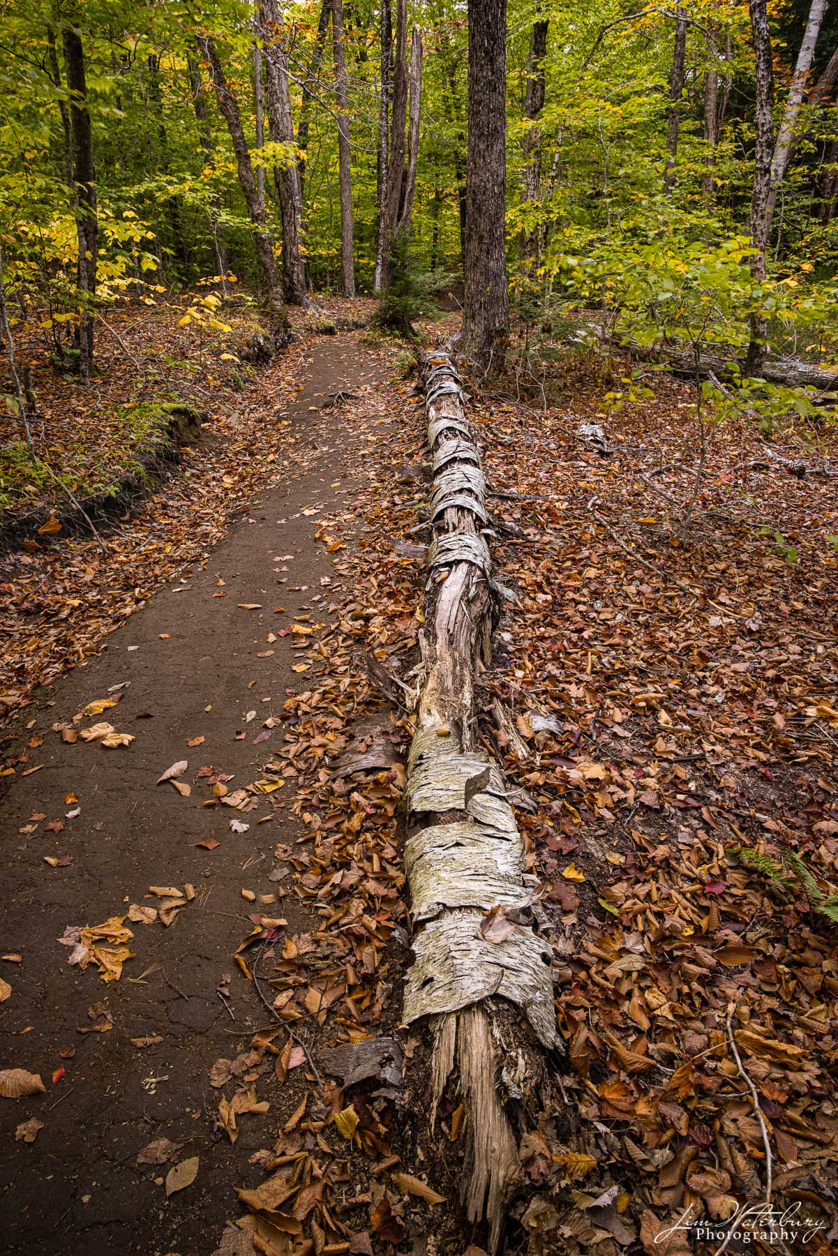 A fallen tree lying on the side of a trail along the Goose River sheds its bark into a bed of fallen leaves.