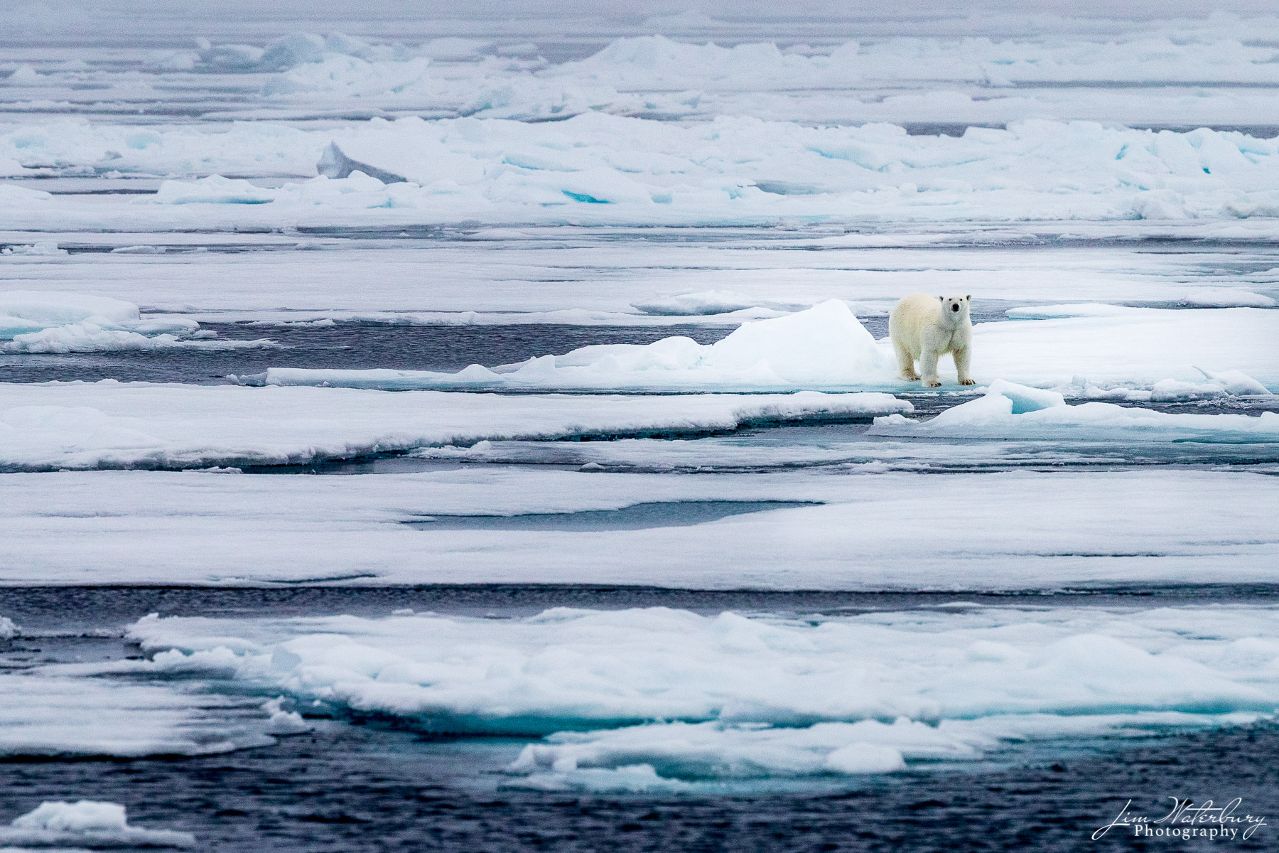 A polar bear looks out over the pack ice in the Arctic Ocean north of Svalbard, Norway.