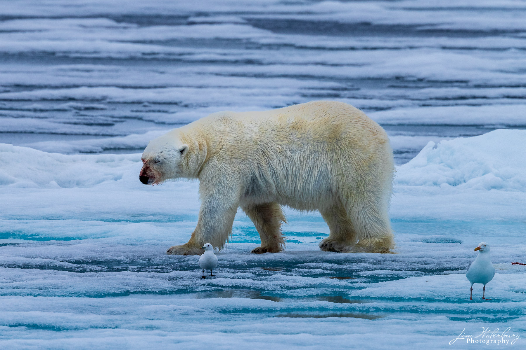 A large polar bear walks along the pack ice following a successful seal hunt in the Arctic Ocean north of Svalbard.